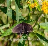NHM-butterflies-061518-070-C-500px