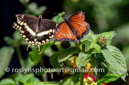 NHM-butterflies-061518-072-C-500px