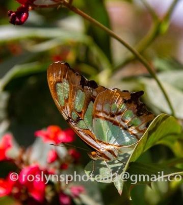 NHM-butterflies-061518-080-C-500px