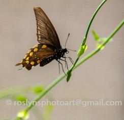 NHM-butterflies-061518-088-C-500px