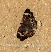 NHM-butterflies-061518-125-C-500px