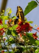 NHM-butterflies-061518-131-C-500px