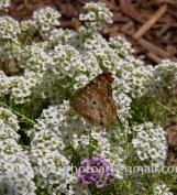 NHM-butterflies-061518-148-C-500px